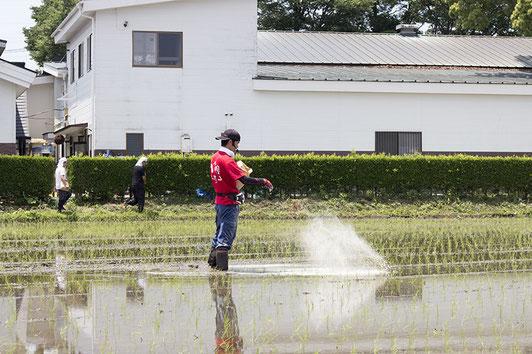 6月3日の田植え会にて。素早く、無駄なく、綺麗に糠撒き作業をする犬塚さん。