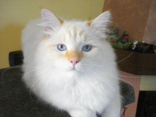 gatto siberiano red tabby point,gatti siberiani, allevamento, gatti, cuccioli, siberiani, siberiano,cuccioli disponibili, gatti siberiani, cuccioli, siberiani, feld1, ipoalleregenico, gattini, neva masquerade, nem, allergia, gatto siberiano, allevamento,