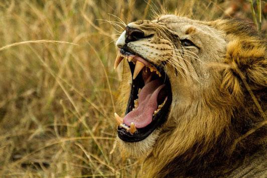 La mâchoire puissante du lion contient 30 dents au total dont 4 crocs et 4 dents carnassières. A l'image des lions, les sauterelles sont des prédateurs redoutables, elles ne craignent rien ni personne et peuvent déchiqueter tous les mauvais raisonnements.
