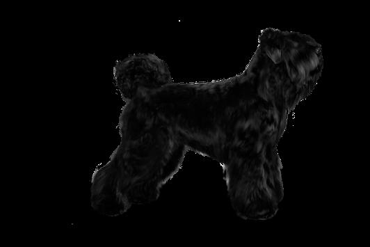 russischer terrier welpe