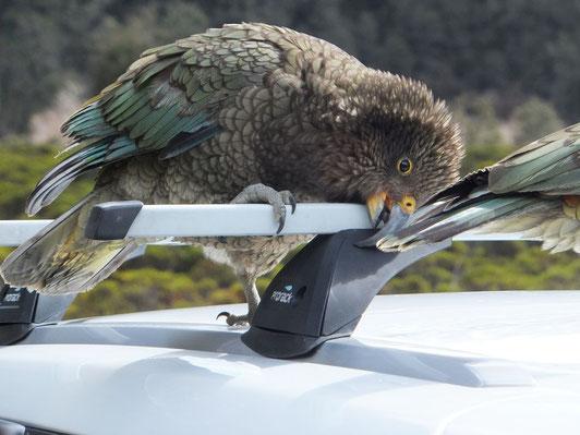 Ein Kea bei seinem Lieblingssport: Sachen kaputtmachen