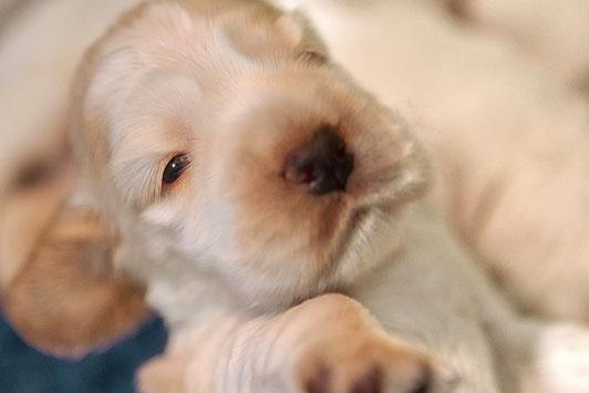 Cachorros Chocoblue