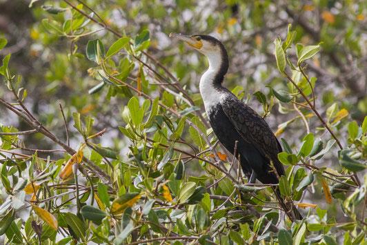 Grand cormoran africain, oiseau, Sénégal, Afrique, safari, stage photo animalière, Jean-Michel Lecat, photo non libre de droits