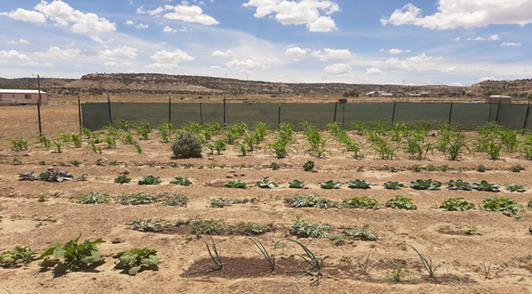 A family garden on the Navajo nation, July 2020, photo by the authoress