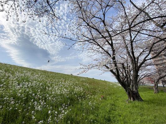 大分県産ローカルタレントが桜の名所・大分川河川敷を歩く