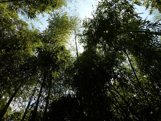 Bamboo - Bambousaie en France - Alain Van den Hende 17072282 Licence CC BY-NC-SA-3.0