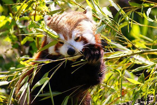 panda rouge - red-panda
