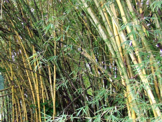 «Bamboo 2» par Andres Rueda — Flickr: Bamboo. Sous licence CC BY 2.0 via Wikimedia Commons - https://commons.wikimedia.org/wiki/File:Bamboo_2.jpg#/media/File:Bamboo_2.jpg