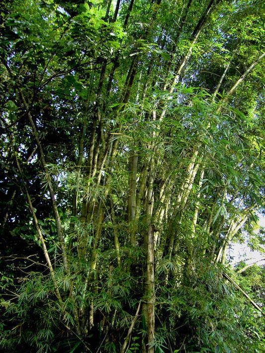 "77PL ""Bambusa vulgaris (Dominica)"" autorstwa © Hans Hillewaert /. Licencja CC BY-SA 3.0 na podstawie Wikimedia Commons - https://commons.wikimedia.org/wiki/File:Bambusa_vulgaris_(Dominica).jpg#/media/File:Bambusa_vulgaris_(Dominica).jpg"