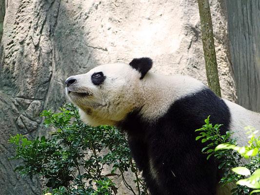 panda bambou bamboo