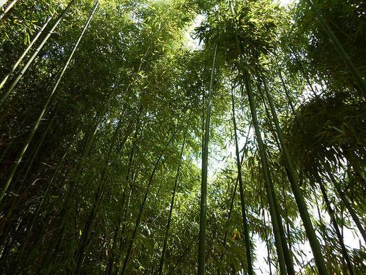 Journée Mondiale du Bambou - Bamboo - Bambousaie en France par Alain Van den Hende -Licence CC BY-NC-SA-3.0