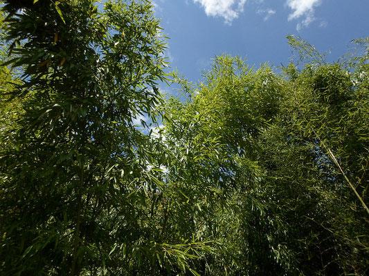 La Journée internationale du bambou se célèbre chaque année le 18 septembre. - Journée mondiale du bambou - World bamboo day - par Alain Van den HendeLicence CC BY-NC-SA-3.0
