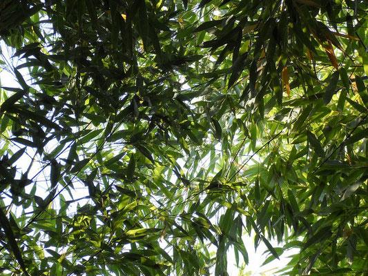 Journée Mondiale du Bambou - Bamboo - Bambousaie en France par Alain Van den Hende -Licence CC BY-NC-SA-3.0 A011.jpg