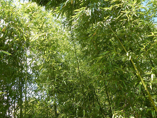 Journée Mondiale du Bambou  - World Bamboo Day - Bamboo - Bambousaie en France par Alain Van den Hende -Licence CC BY-NC-SA-3.0