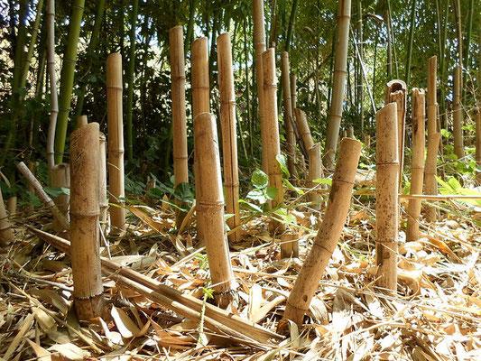 Journée Mondiale du Bambou - chaume de bambous sec - Bamboo - Bambousaie en France par Alain Van den Hende -Licence CC BY-NC-SA-4.0 .jpg