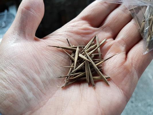 graines de bambou - bamboo seeds