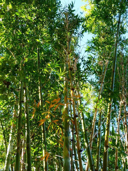 «Bamboo - Brevard Zoo, Viera FL - Flickr - Rusty Clark» par Rusty Clark from merritt usland FLA — Bamboo / Brevard Zoo, Viera FL. Sous licence CC BY 2.0 via Wikimedia Commons - https://commons.wikimedia.org/wiki/File:Bamboo_-_Brevard_Zoo,_Viera_FL_-_Fli