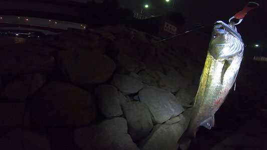 西宮浜 跳ね橋(御前浜橋)72cmシーバス