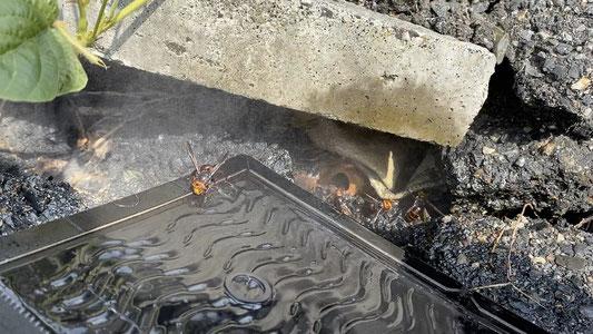 春日井市でオオスズメバチ退治をしています。