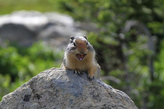 Schimpfendes Eichhörnchen