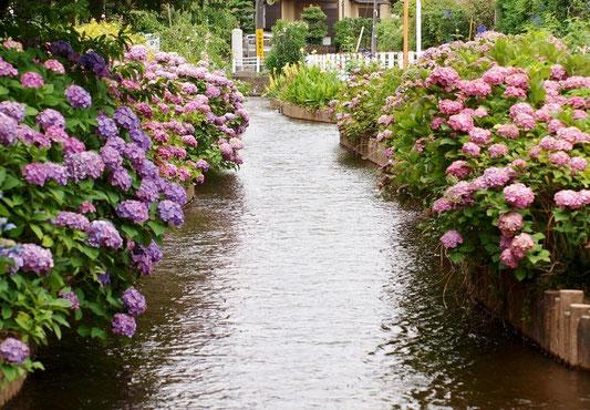 6月27日(2019) 用水とアジサイ:多摩川をはさんで調布市や府中市の対岸にある稲城市。市内を歩いているとあちこちで用水に出逢います。写真は大丸(おおまる)用水。