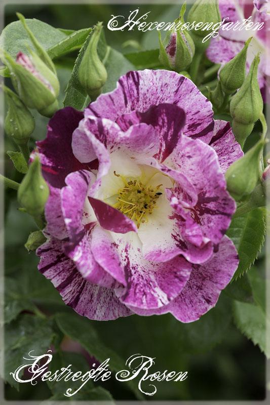 Rosen Rosenblog Hexenrosengarten Rosiger Adventskalender Gestreifte Rosen Kletterrose Purple Splash