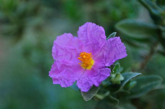 _DSC4021_Ciste de Crête-Cistus creticus-en corse mucchju rossu-Cistaceaes