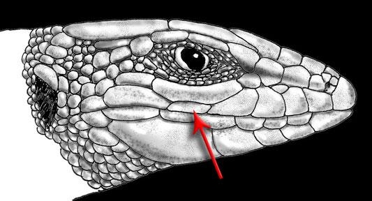 Psammodromus edwardsianus. Detalle de las escamas de la cabeza. La flecha indica la escama supralabial distintiva de esta especie © V. Sancho 2015