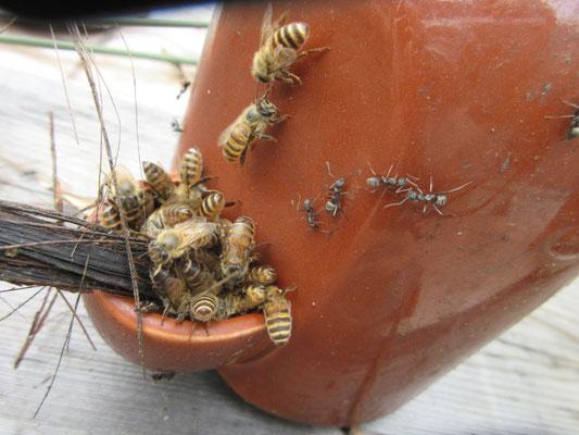 日本ミツバチにひるむことなく砂糖水を飲むアリ達。