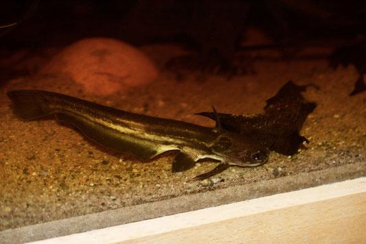 Trachelyopterichthys teaniatus