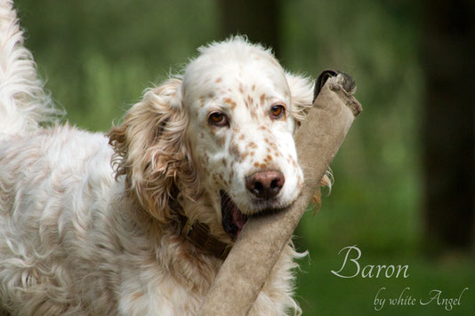 English Setter Ch. Baron by white Angel