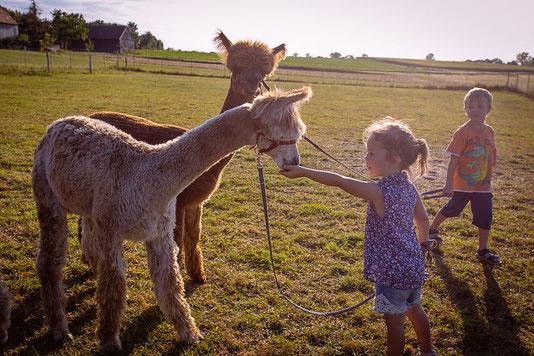 Kind füttert Alpaka auf dem Bauernhof