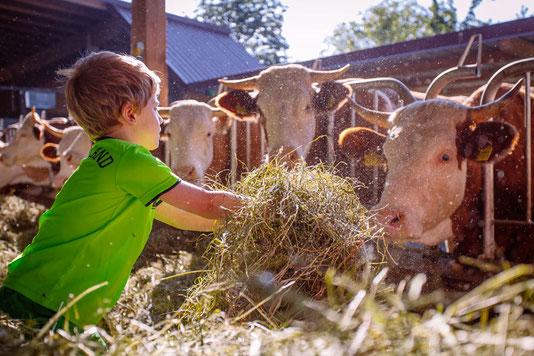 Ein Junge füttern auf dem Bauernhof eine Kuh mit Stroh