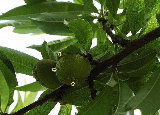モモチョッキリゾウムシの食害に遭った桃の果実…