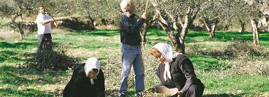 Olivenernte von Hand auf Zakynthos