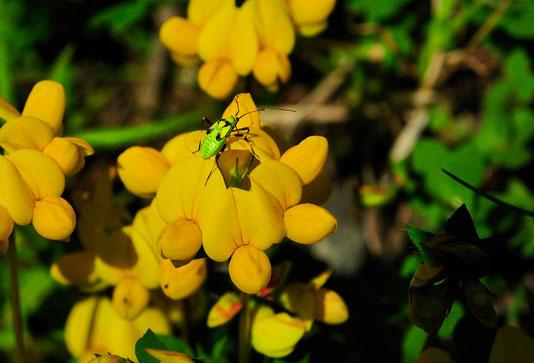 _DSC5228_Cytise à feuilles sessiles-genêt d'Italie-Cytisophyllum sessilifolium-Fabaceae.