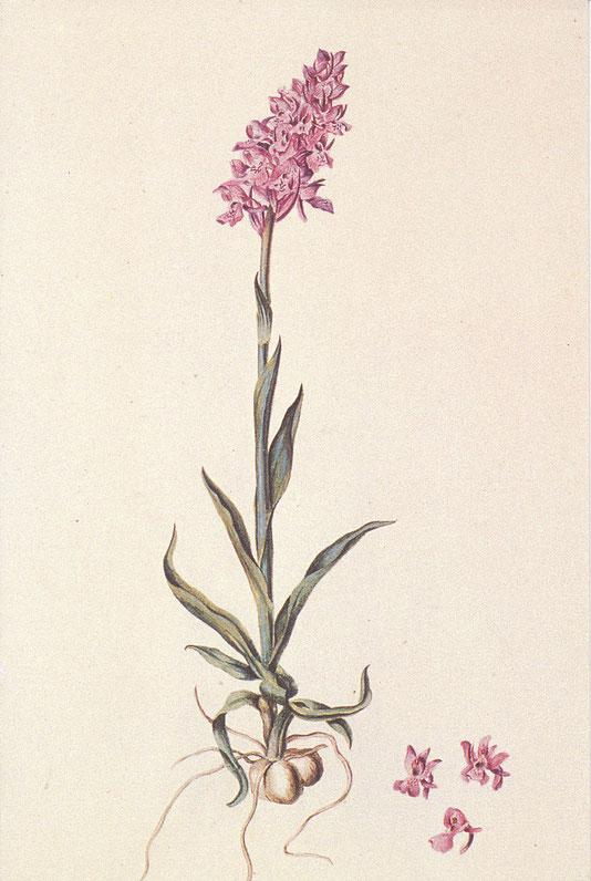 Gemeines Knabenkraut -  Kolorierte Zeichnung von Franz Wernekinck - ULB