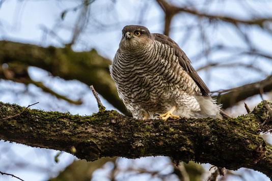 Sperber (Foto: Thomas Hafen - www. natur-fotografieren.de)