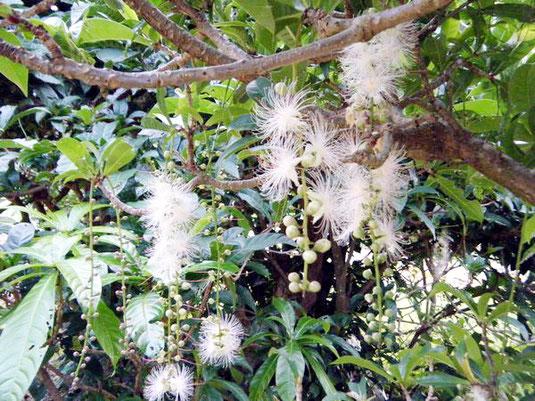 甘い香りを漂わせながら咲くサガリバナ。朝の10時ごろまでは花が楽しめるという=22日午前7時ごろ、平久保で(平良さん提供)