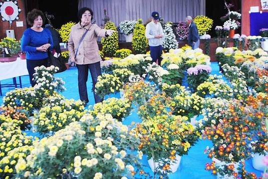 大小さまざまな菊が並ぶ八重山菊同好会の展示会=28日午後、大川公民館