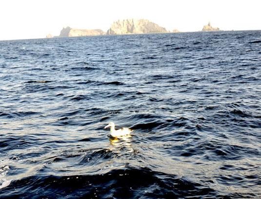10月21日、尖閣諸島周辺の海面で撮影されたアホウドリ。背後に見えるのは南小島(仲間均さん提供)