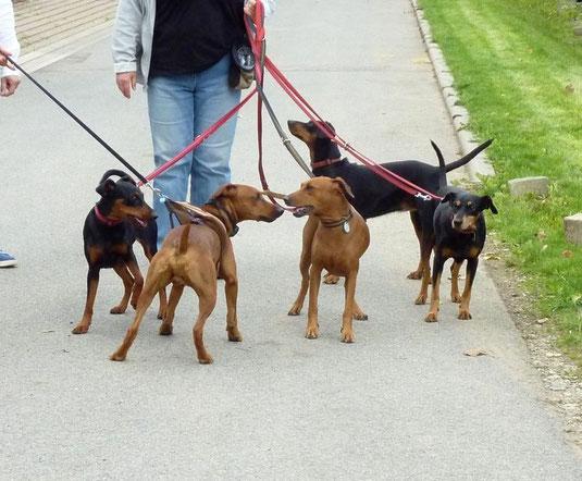 Alle Hunde verstanden sich prima beim gemeinsamen Spaziergang ;-))
