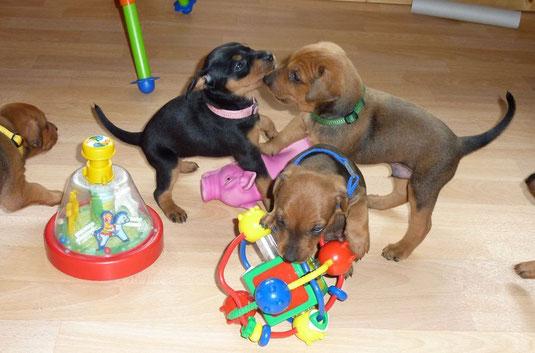 Welpen (5 Wochen alt) beim Spielen im Wohnzimmer ;-))