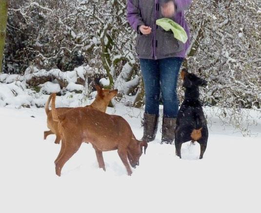 """09.12.2012, Stella, Onnie und Cosmo macht der """"Schneesturm"""" nichts aus, denn es gibt """"Leckerchen"""" ;-))"""