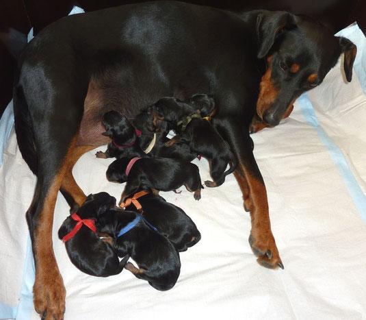 22.10.2013, stolze Mama Geeva mit ihren 8 Welpen kurz nach der Geburt !!