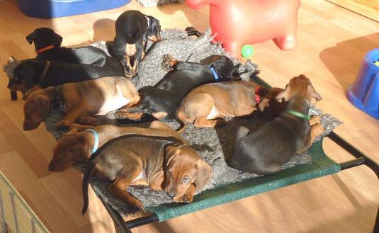 Baroness, Bella-Donna, Black-Bonita, Black-Jack, Balou, Barney, Basco, Belmondo und Benito (7 Wochen alt)