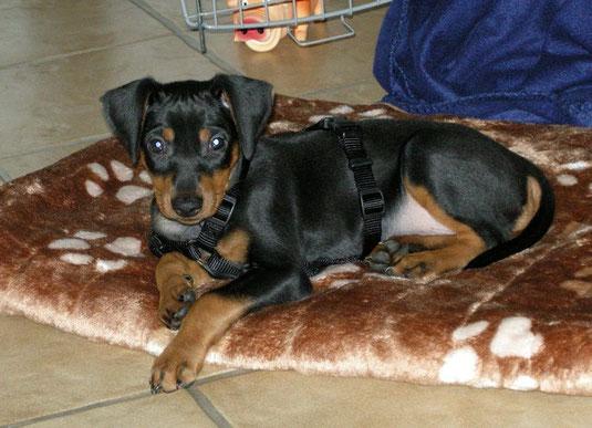 Jacky (Geronimo vom Sylbachtal, 9 Wochen alt) fühlt sich im neuen Heim, sichtlich wohl ;-))