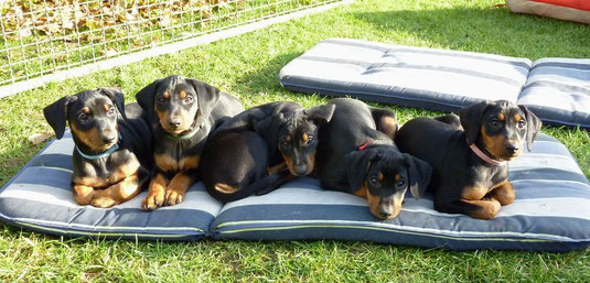 Duke, Don Camillo, Dark-Devil, Diva-Dolly und Dakota (8 Wochen alt)