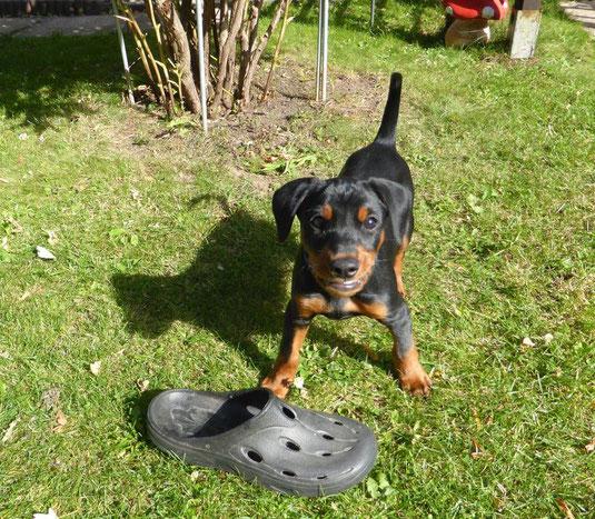 Bruno (Oskar vom Sylbachtal) hat nicht nur den Garten, sondern auch die Herzen der neuen Familie erobert ;-))