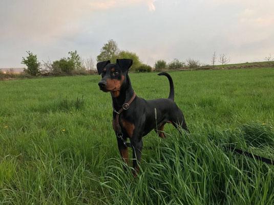 Lennox vom Sylbachtal (ein Jahr alt) fühlt sich in seiner Familie ...pinscherwohl ;-))